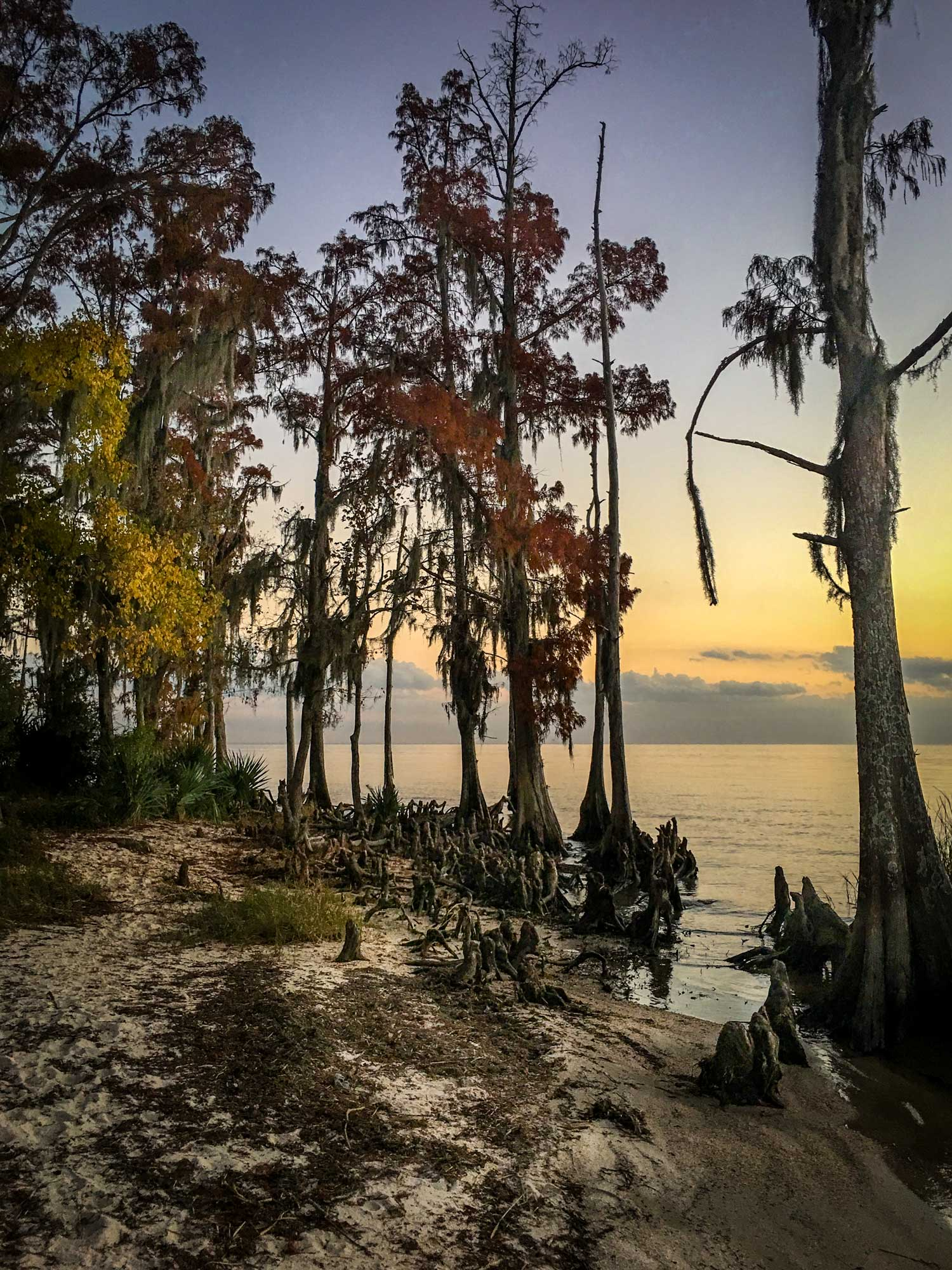 Bald cypress at lake